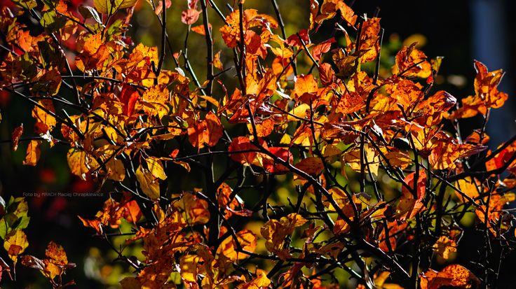 Ogród w jesiennym słońcu. Kolorowe, złote, jesienne liście krzewów w popołudniowym, październikowym słońcu. Złota polska jesień w ciepłych słonecznych klimatach.