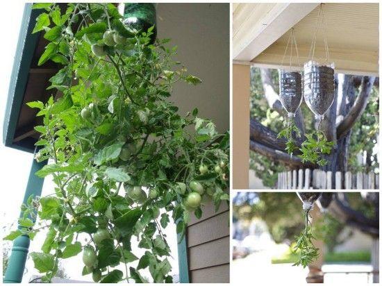 Plantando tomate em garrafa Pet