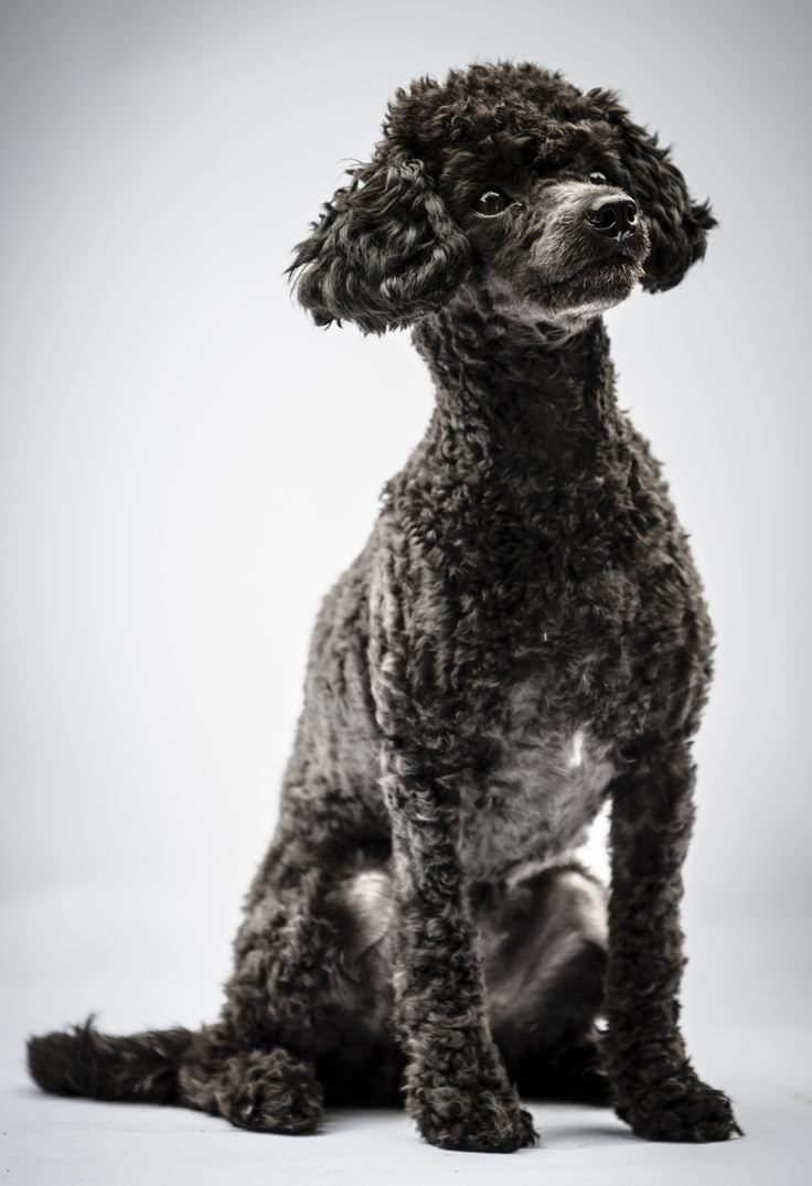Black Poodle Puppy by Nigel Lomas on 500px