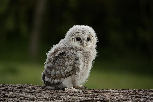 8 best images about Baby Owls on Pinterest | Owl pictures ...