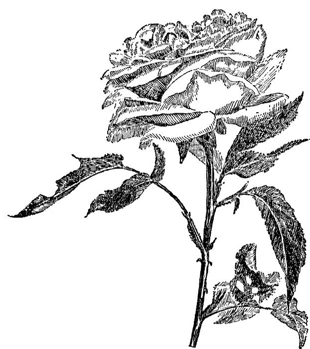 17 best images about como dibujar una rosa  on pinterest