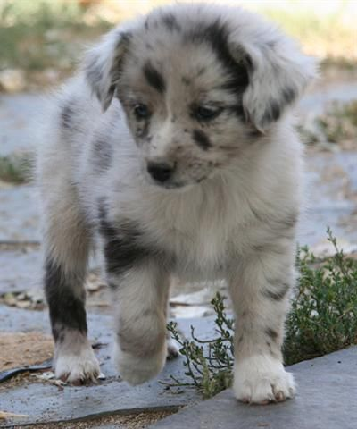 Mini Australian Shepard, blue merle. I want one just like this one day! :)