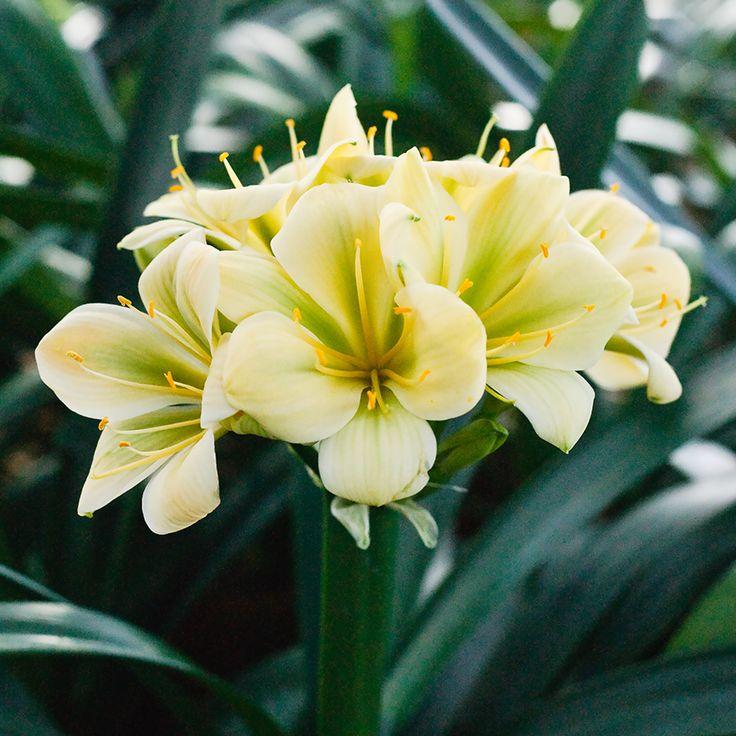 Clivia miniata, (TK Yellow x Hirao) x Hirao Green Flower.  Colorado Clivia's plant number 1975D.