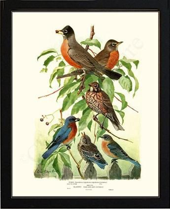 Robins Bird Illustration, by Artist Louis Agass   #birdprints  #birdart