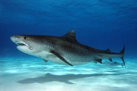 tiger sharks | Tiger Shark