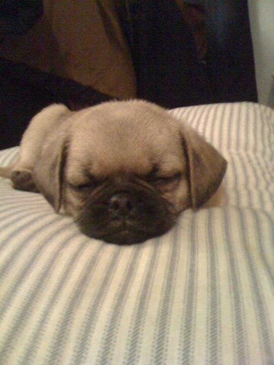 1000+ Images About I LOVE PUGGLES!!!!! On Pinterest