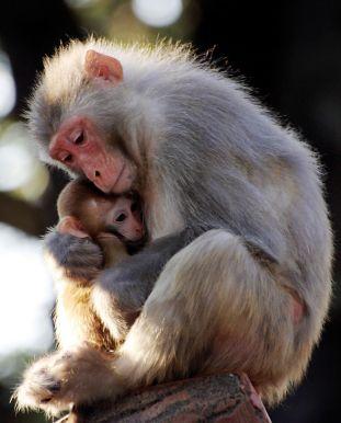 Los monos cuidan de sus crías - Instinto maternal de los animales