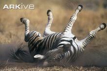 Plains zebra dust rolling