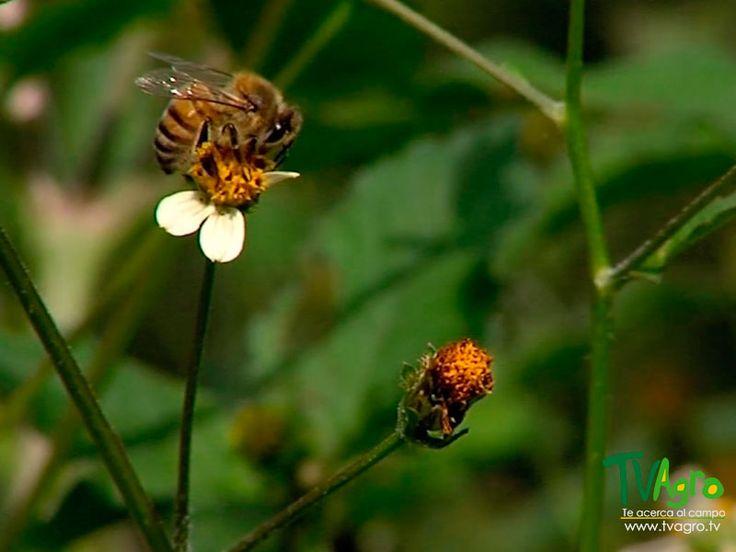 Universo Animal: Reproducción Técnica de abejas sin aguijón.