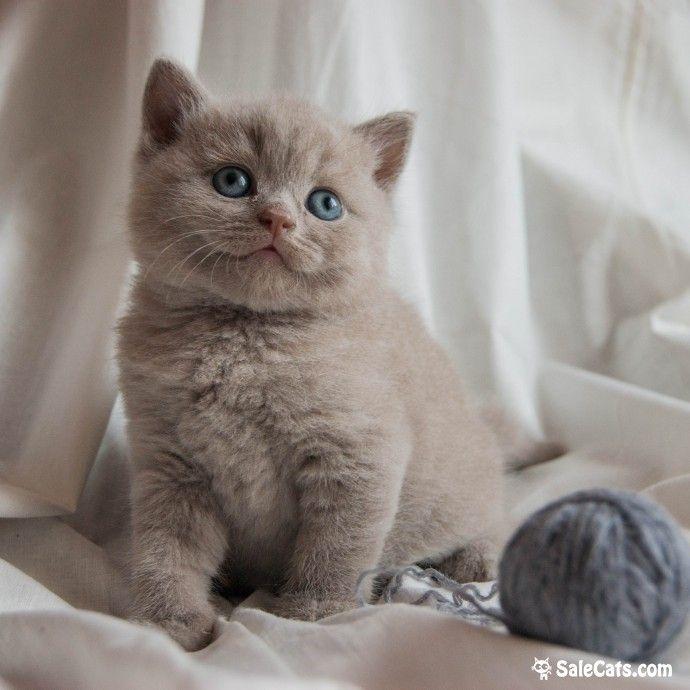 😻 British Shorthair kids! Британские короткошерстные котята! 😻 British Shorthair kids! LILAC and BLUE color! Hurry to make a reserve!Спешите ЗАРЕЗЕРВИРОВАТЬ британских короткошерстных котят от титулованных производителей. Мальчики и девочки ГОЛУБОГО и ЛИЛОВОГО окраса! Дата рождения: 11.07.17. Возможно носительство генов CHOCOLATE, CINNAMON, FAWN. Титулованные родители: Отец: Int.Ch. GARFIELD from raven city*ru BRI p – fawn. Мать: сас KIARA wonderful cats BRI a – bluе В родословной…