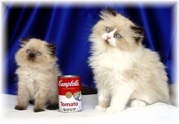 Toy and Tea Cup Persians and Himalayan cats. I want one!