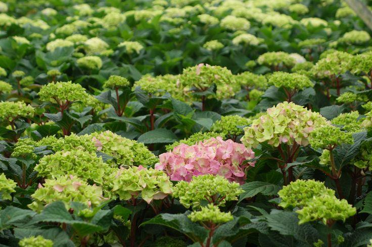 Ett hav av hortensior! Hydrangea macrophylla Endless Summer ®, 'Bloom Star'.