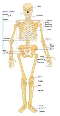 el esqueleto y las regiones corporales. - Buscar con Google