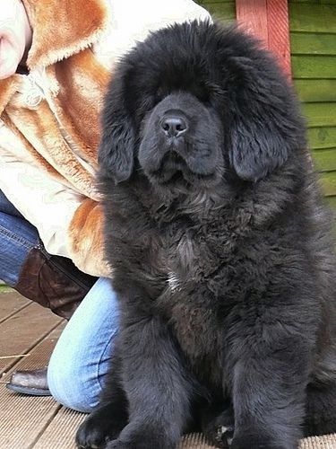 Must Karu - Tibetan mastiff puppy by mastino0100, via Flickr