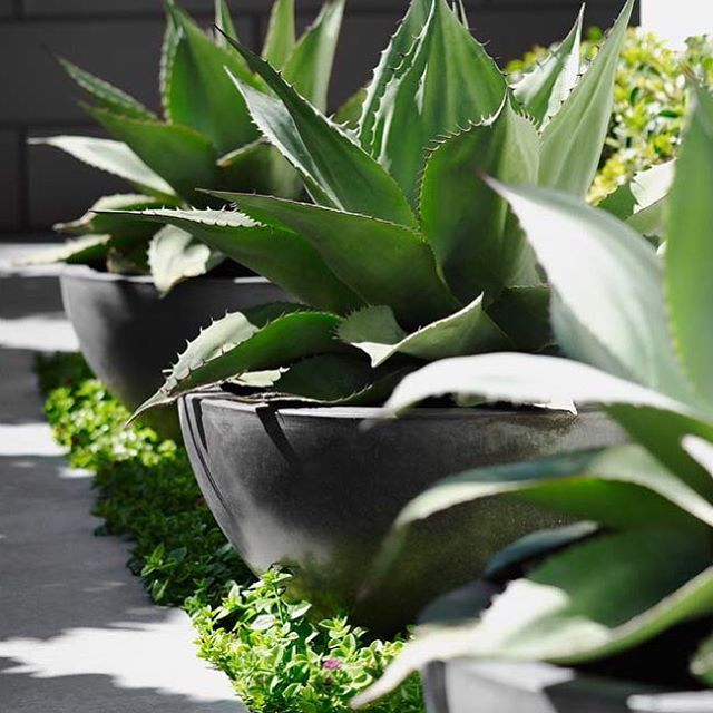 Agaves making a statement #agave #featureplant #featurepot
