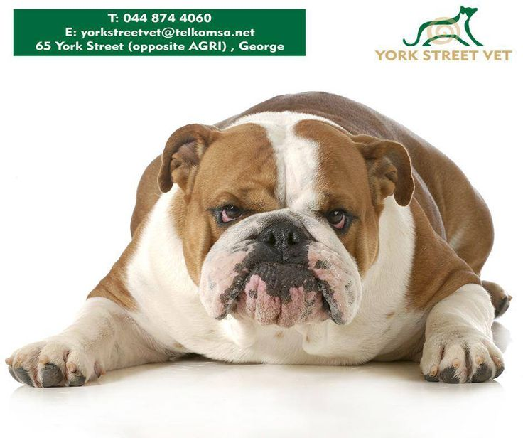 If you feel your dog is overweight, call us at 044 8744060 for a consultation to determine if there are any other medical problems before starting your best friend on a weight reduction program. #YorkStreetVet #weightreductionprogram