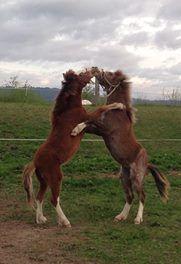 Registered Pedigree Welsh Ponies