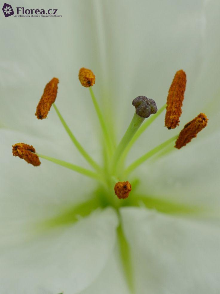LILIUM OR BURLESCA http://www.florea.cz/lilium-1 #lilium #flowers