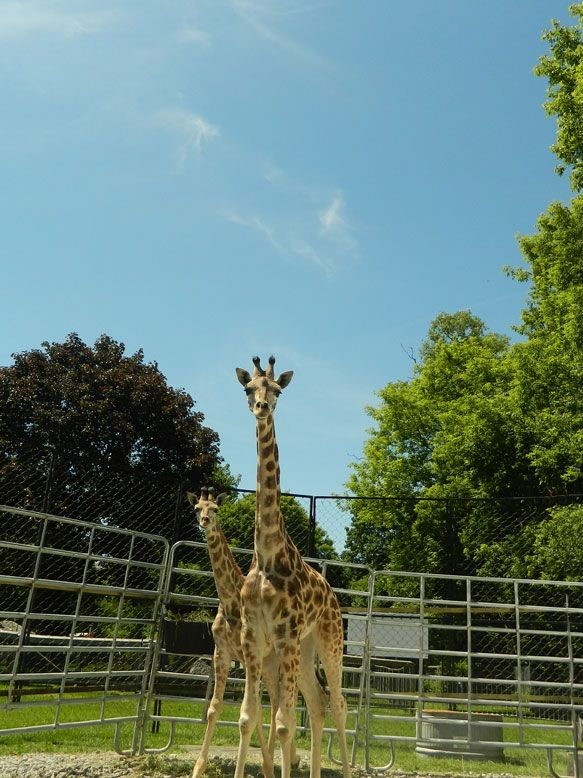 Our new GIRAFFE!!!
