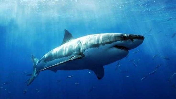 Researchers are tracking a great white shark that has traveled nearly 4,000 miles to South Florida waters after she was tagged in Massachusetts.