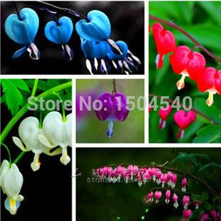 Promotion 100 Dicentra Spectabilis seeds Bleeding Heart classic cottage garden plant, heart-shaped flowers , ferny foliage
