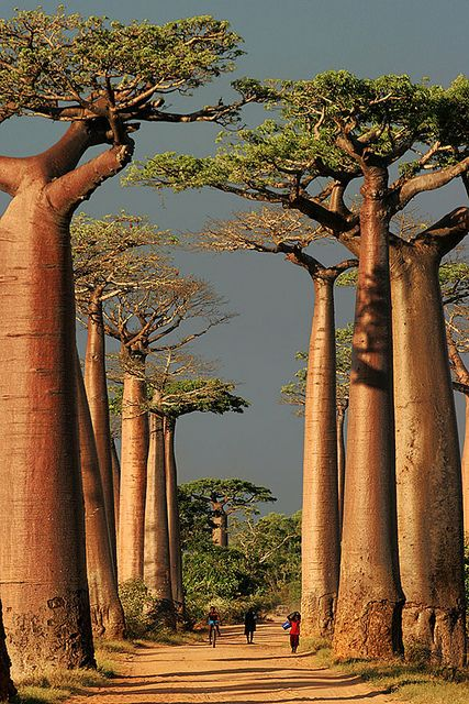 The Avenue or Alley of the Baobabs is a prominent group of baobab trees lining the dirt road between Morondava and Belon'i Tsiribihina in the Menabe region in western Madagascar.