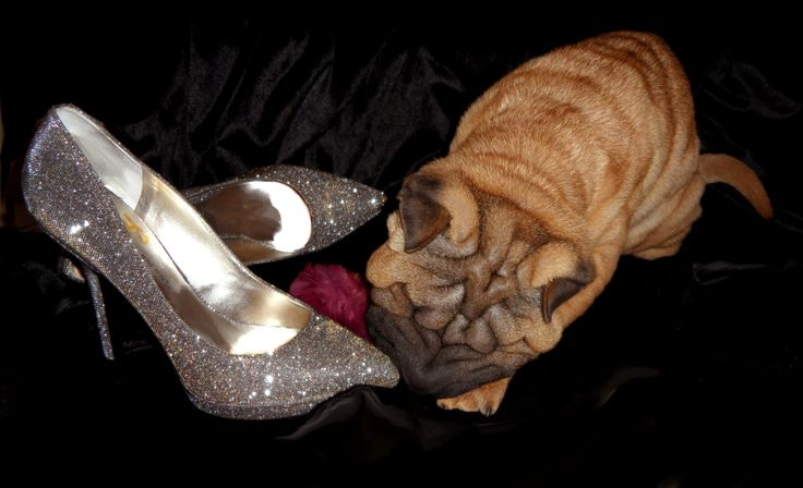 Puppy Zoey's passion for shoes.