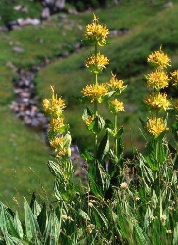 Grande plante à fleurs jaune, la #gentiane pousse en montagne. Sa racine, traditionnellement utilisée pour fabriquer digestifs et liqueurs, est aussi connue pour ses propriétés médicinales. Elle a notamment pour vertus de stimuler l'appétit et de faciliter la digestion.