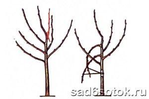 Обрезка яблони при избыточном числе ветвей