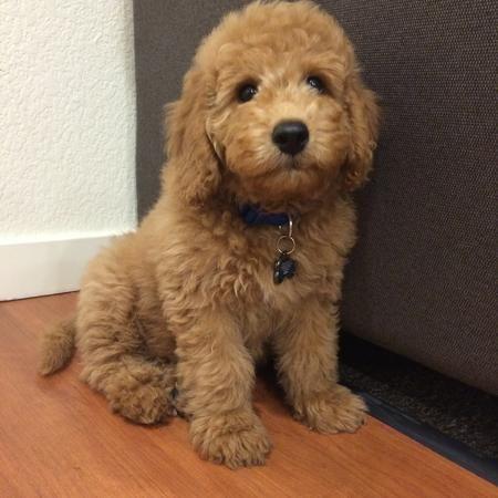 Bentley the Golden Retriever/Poodle Mix