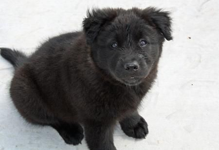 via the Daily Puppy  Puppy Breed: Chow Chow / Labrador Retriever / Siberian Husky    Scout is a Lab mix we think (maybe with Chow or Husky--any guesses?). He is smart and sweet and loves us. But he is a big scaredy cat. He loves water and playing with his stuffed beaver. Then he likes to relax in the air conditioning. He's a great puppy!