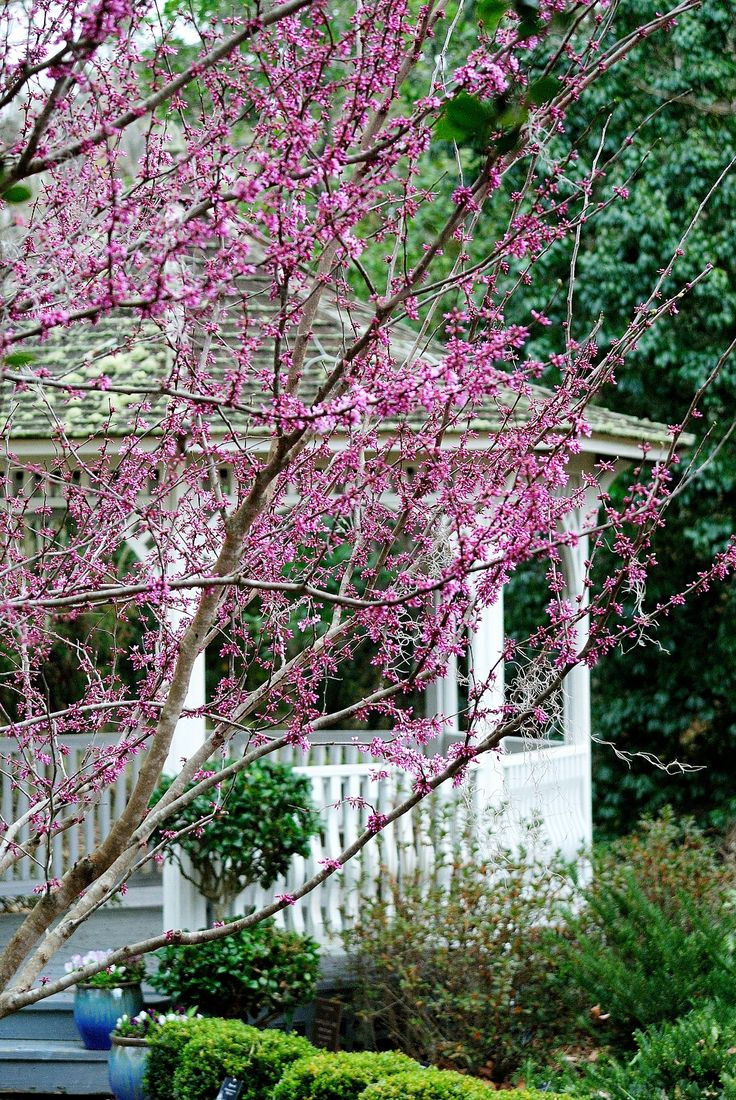 The Eastern Redbud Harbinger Of Spring March 4 Coastal Georgia Botanical  Garden.