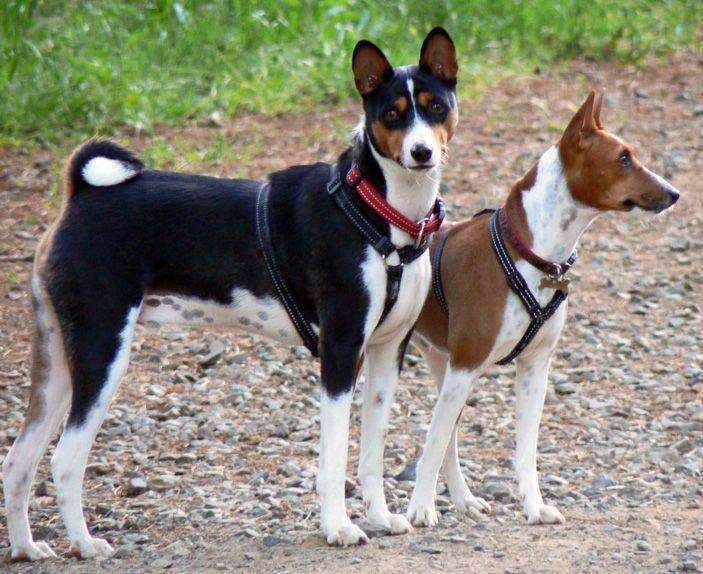 Who is The Basenji Egyptian Dog ?