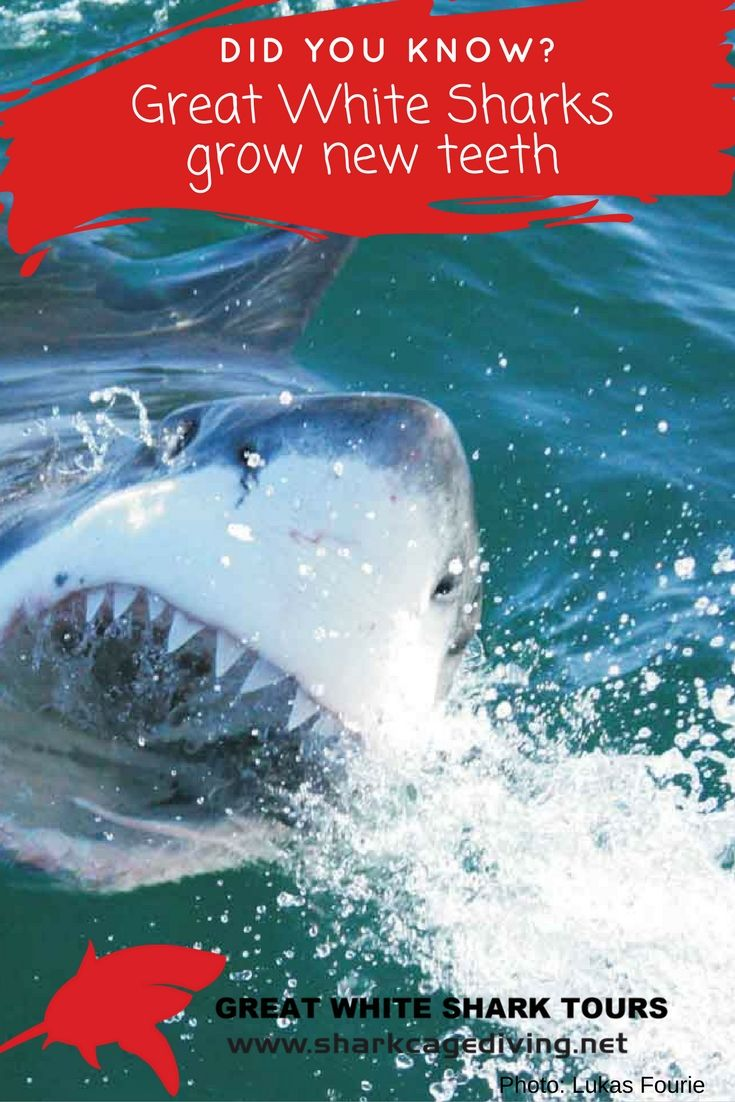 Great White Sharks can grow new teeth.