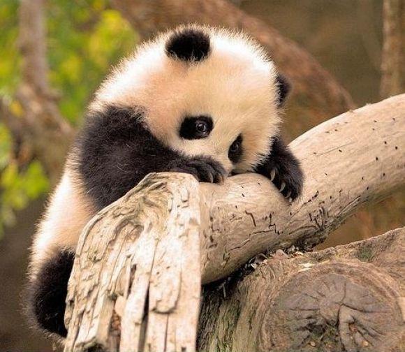 Fluffy Panda Cub Hanging Onto A Branch | Cutest Paw