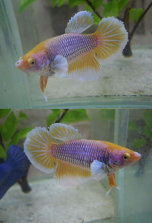 17 best images about beta on pinterest copper auction for Girl betta fish