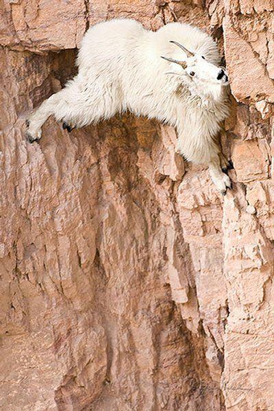Top 12 des chèvres de montagne qui vous mettent la misère en escalade