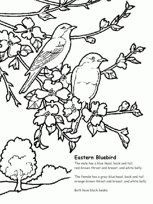10 best love images on pinterest coloring pages for Eastern bluebird coloring page
