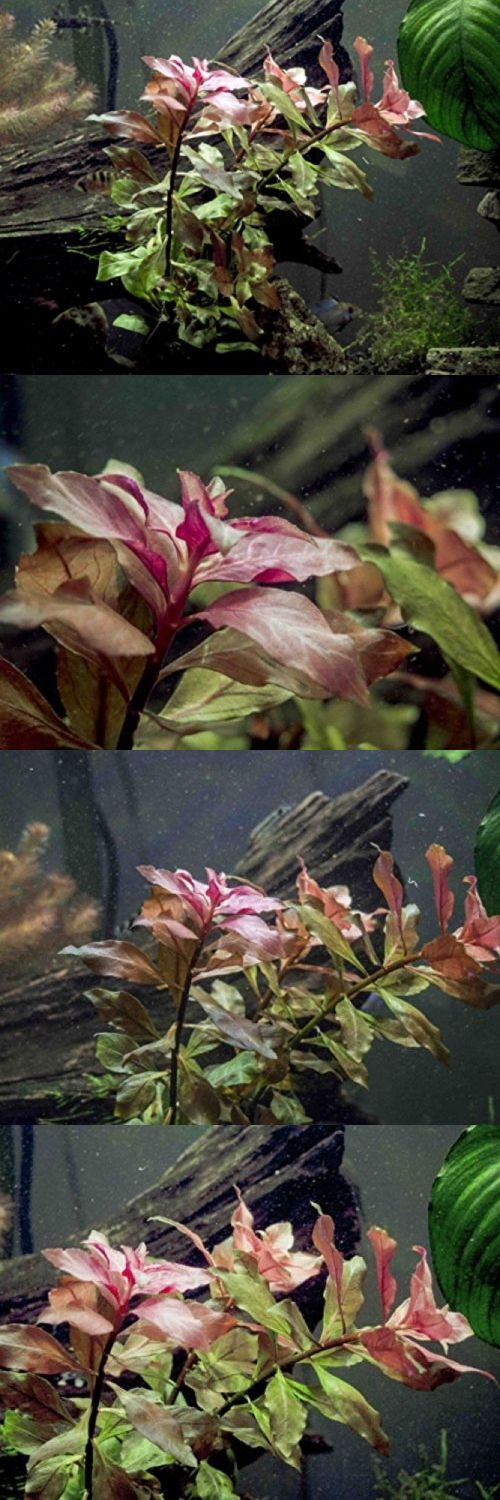 Live Plants 66794: Dark Red Ludwigia - 2 Bunches - Large Live Aquarium Plant By Aquatic Arts -> BUY IT NOW ONLY: $36.91 on eBay!