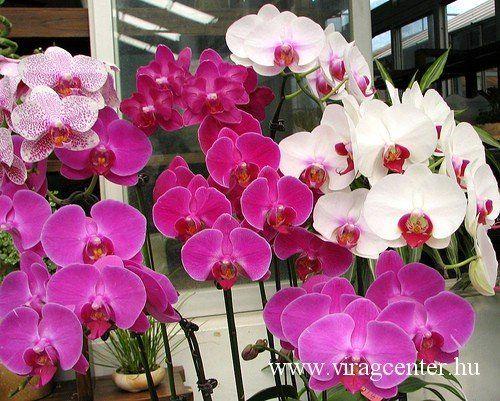 orchideák, orchidea gondozása, ápolása,öntözése, orchidea fajták