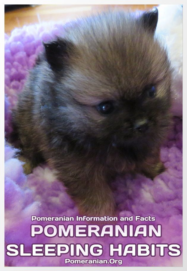 Pomeranian Sleep requirements explained. | Sleeping puppies, Sleeping  habits, Pomeranian puppy training