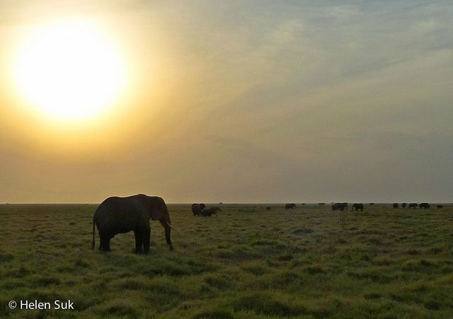 Amboseli National Reserve is the second most visited national park in Kenya. It may not offer the extensive variety of wildlife you might find in the Maasai Mara, but I offer three reasons to include it in your Kenyan safari.