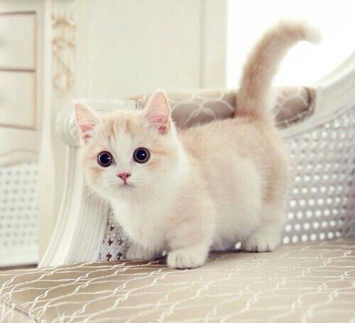 Tan and white munchkin kitten... please send one to my house right now