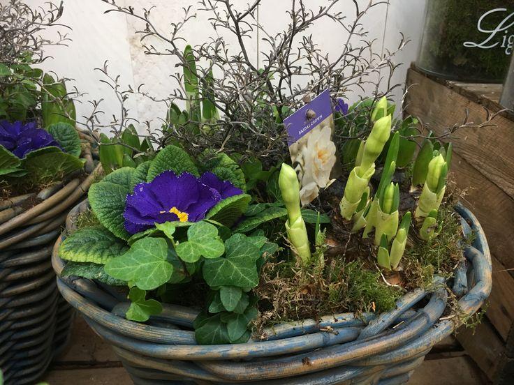 Mandje vol #paars! #voorjaar #lente #tuincentrumosdorp