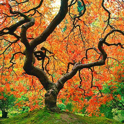 Japanese maple.  Airy, delicate leaves make Japanese maples absolute showstoppers.