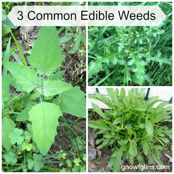 3 Common Edible Weeds - Whole Intentions