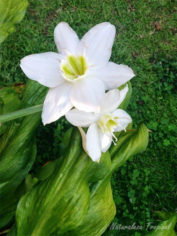 Variedad blanca de una azucena o lirio g nero lilium for Azucena plantas jardin