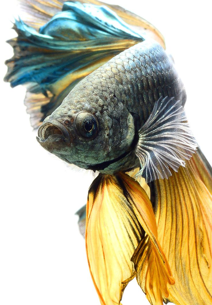 85 Best Images About Fighter Fish On Pinterest Copper