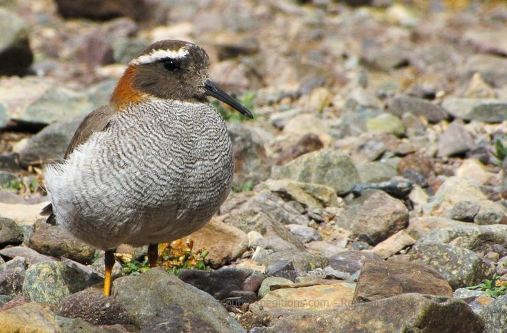 """Diademed Sandpiper-Plover, Phegornis mitchellii  The generic name of this super bird meaning """"bird of splendor"""" Photo © Rodrigo Tapia, Far South Expeditions   For more images: http://smu.gs/1m99neI  #Birding   #Chile   #Andes   #naturephotography"""
