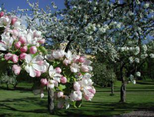 soorten fruit bloesem bomen appels peren appelboom bloei bloemen snoeien kleuren